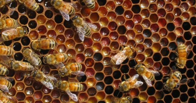 Anzer Pollen production