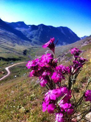 anzer endemic flower